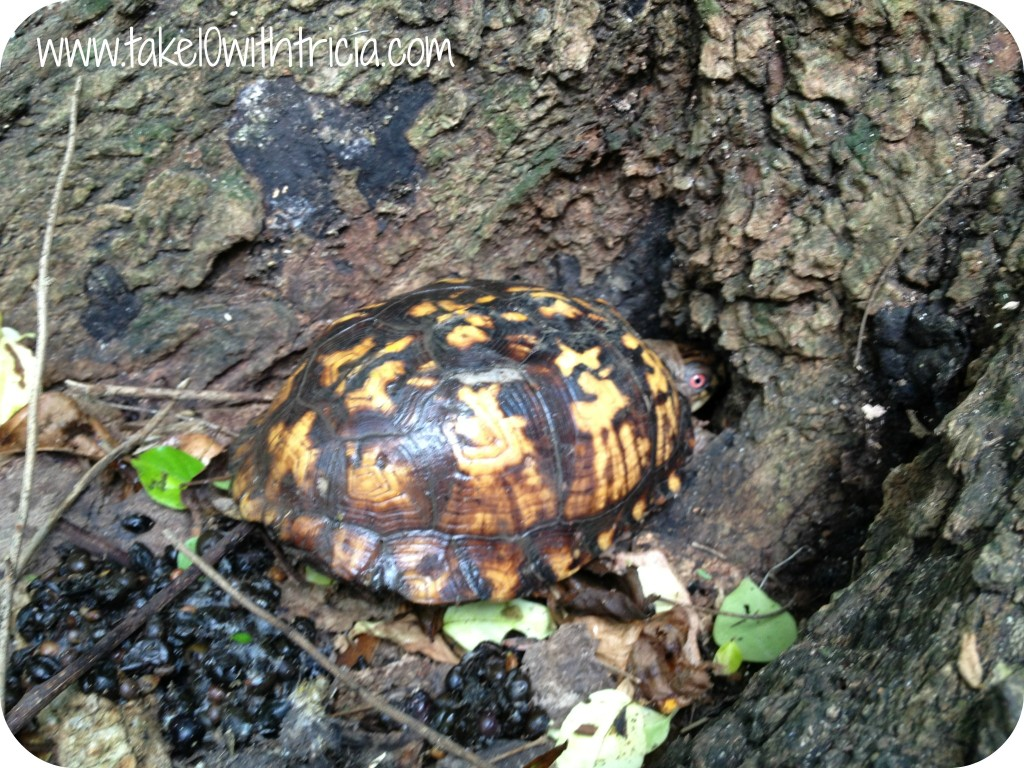 turtle-in-woods